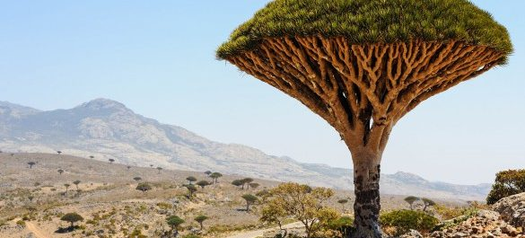 urlaubsguru.de_yemen-socotra-island-dragon-tree-dracaena-cinnabari-shutterstock_182485898-2-585×395
