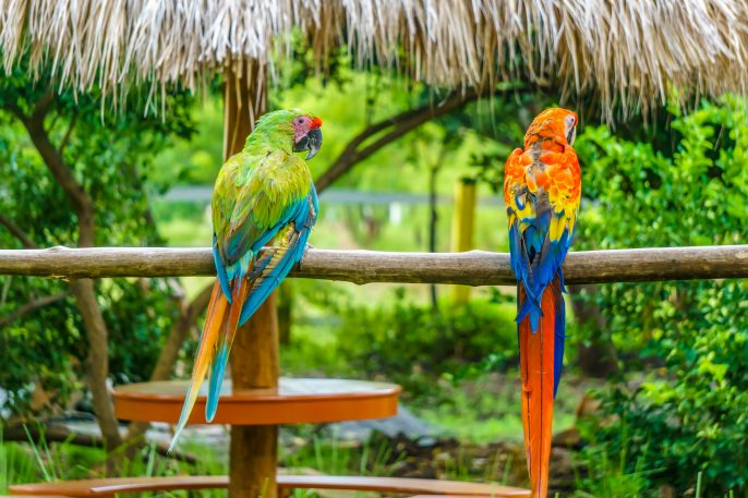 tropical parrots in nature shutterstock_514149409-2