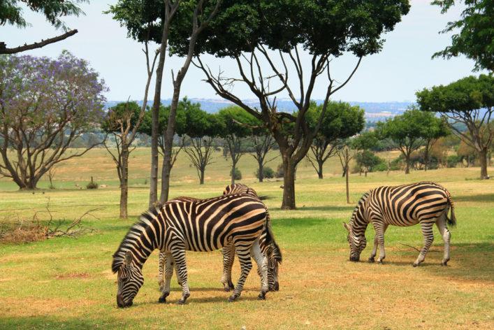 Safari Johannesburgo