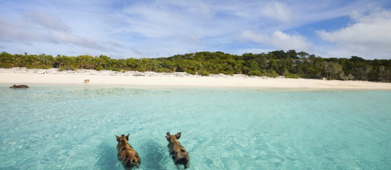 Swimming pigs of Exumas