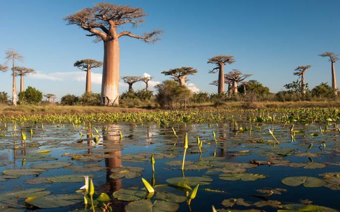 Baobab trees in Madagascar_shutterstock_190322468 – Copy