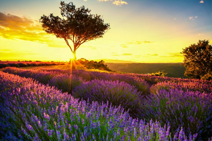 Lavendel in der Provence im Sonnenuntergang iStock_000044983444_Large-2
