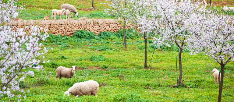 Sheep on meadow with blooming almond trees (Majorca) (XXXL)