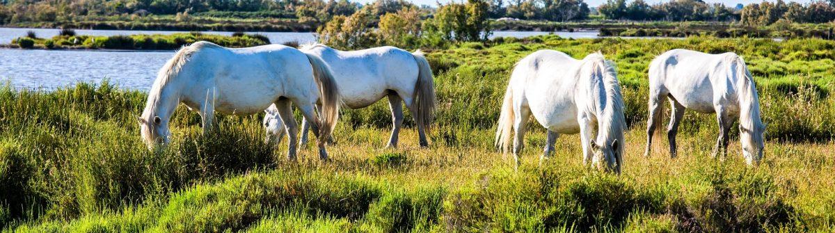 Herd of white horses grazing near the lake