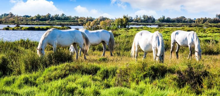Herd of white horses grazing near the lake