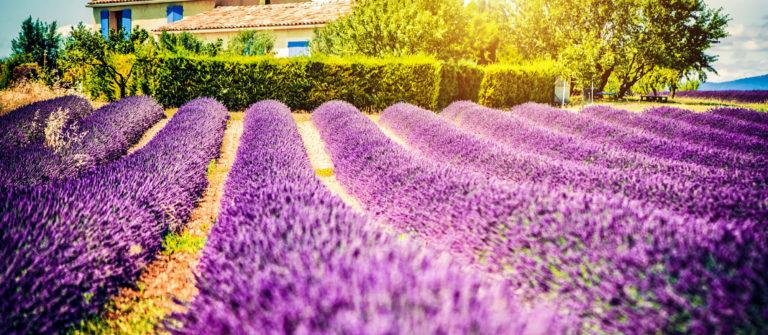 feld-von-lavendel-istock_000023886462_large-2