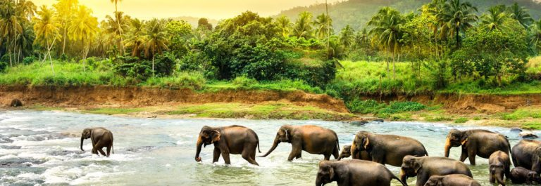 Elefants in river