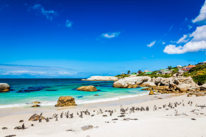 """African Penguin Colony at Beach,Cape Town South Africa"""