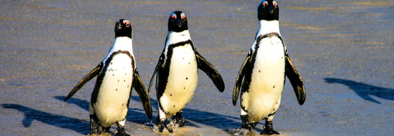african-penguins-at-boulders-beach-in-cape-town-south-africa-istock_000003776491_medium-2